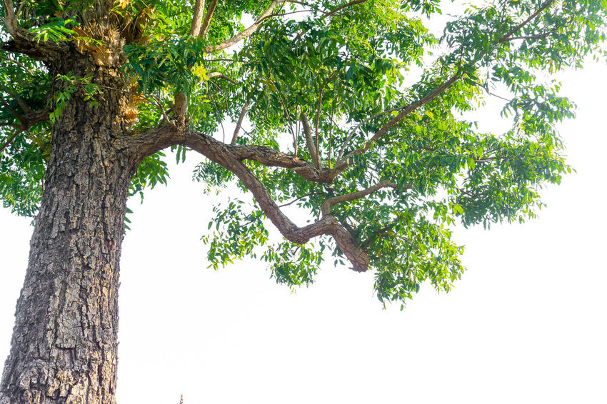 Azadirachta Indica Neem Tree Beauty In Nature Branch Clear Sky Day Green Color Growth Low Angle View Nature No People Outdoors Scenics Sky Tree Tree Trunk