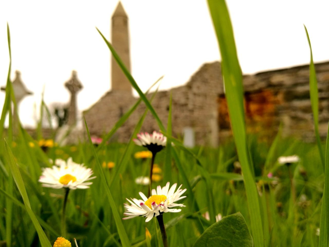Flower Nature Plant Growth Meadow Wildflower Freshness Close-up Petal Beauty In Nature No People Outdoors Day Green Color Grass Springtime Ruins Round Tower Rapunzel's Tower Fairytale  Wild Atlantic Way Kerry Ireland Architecture Tranquility Ireland ☘ The Great Outdoors - 2017 EyeEm Awards
