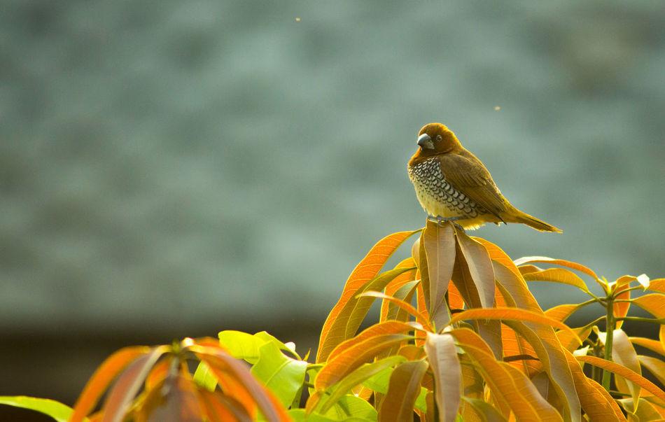Litlle brown bird with white strips on belly on a mango tree Bird Bird On Branch Bird On Tree Bird Photography Brown Birds Cute Birds  Cute Bird🐥 Nature Tiny Bird :-) Vibrant Color Wildlife Zoology