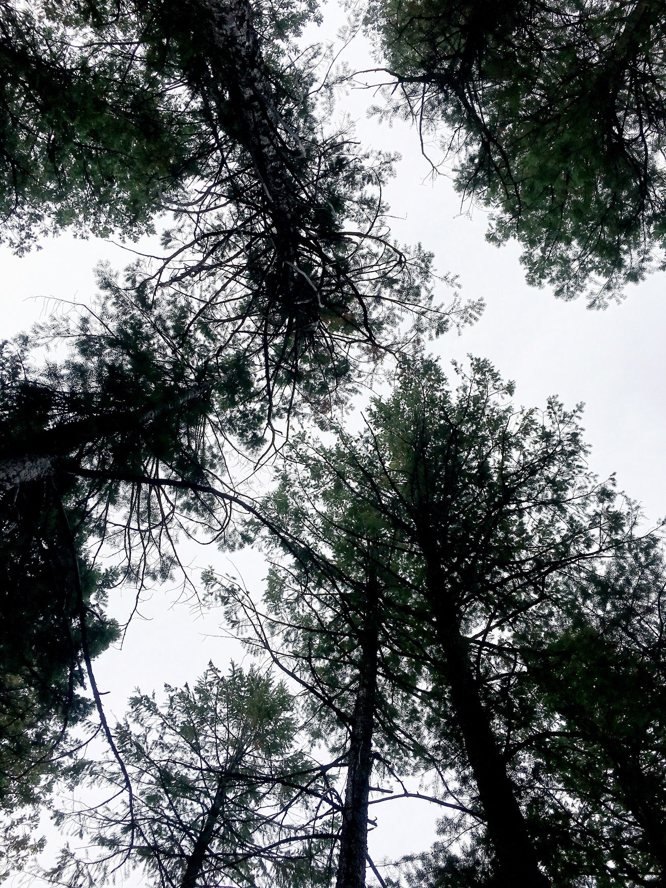 Looking up through the forest Denver,CO Lookout Mountain Outdoors Nature Tree Treetops Sky Forest