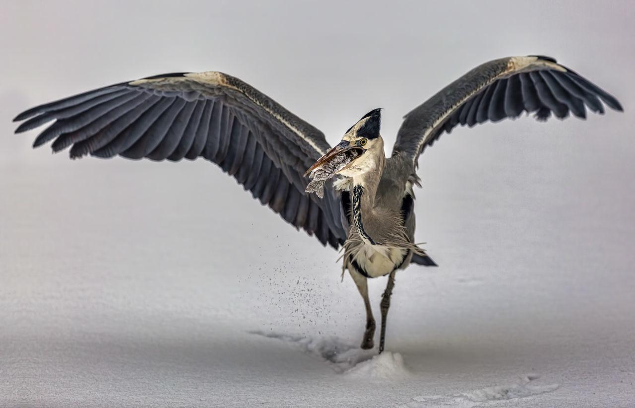 Beautiful stock photos of jagd, Animal Themes, Animal Wildlife, Animal Wings, Animals Hunting