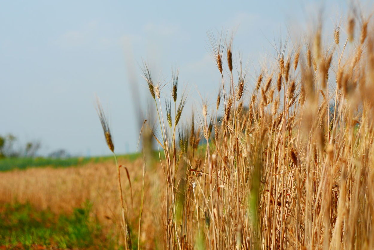 Agriculture Cereal Plant Clear Sky Close-up Crop  Day Farm Field Food Food Staple Freshness Growth Nature No People Outdoors Plant Rural Scene Seed Sky Summer Wheat Long Goodbye