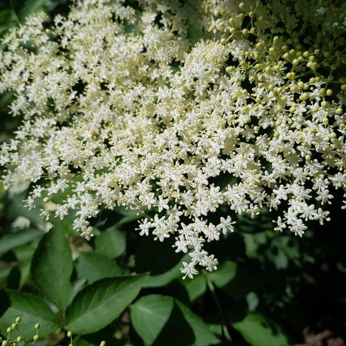 Flower Nature Plant Day Fragility Outdoors Beauty In Nature No People Close-up Freshness Flower Head Verybeautiful Very Nice Beautiful Photooftheday Summer Tranquil Scene Tranquility Freshness Growth Beauty In Nature White Color Green Color Plant Part Nature
