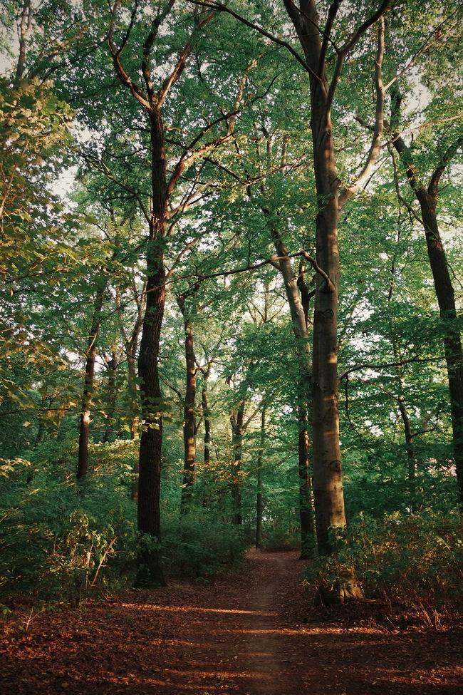 Tree Tree Trunk Tranquility Tranquil Scene Growth Scenics Forest Beauty In Nature Nature Branch Landscape Non-urban Scene WoodLand Green Color Day Remote Treelined Outdoors Footpath Abundance