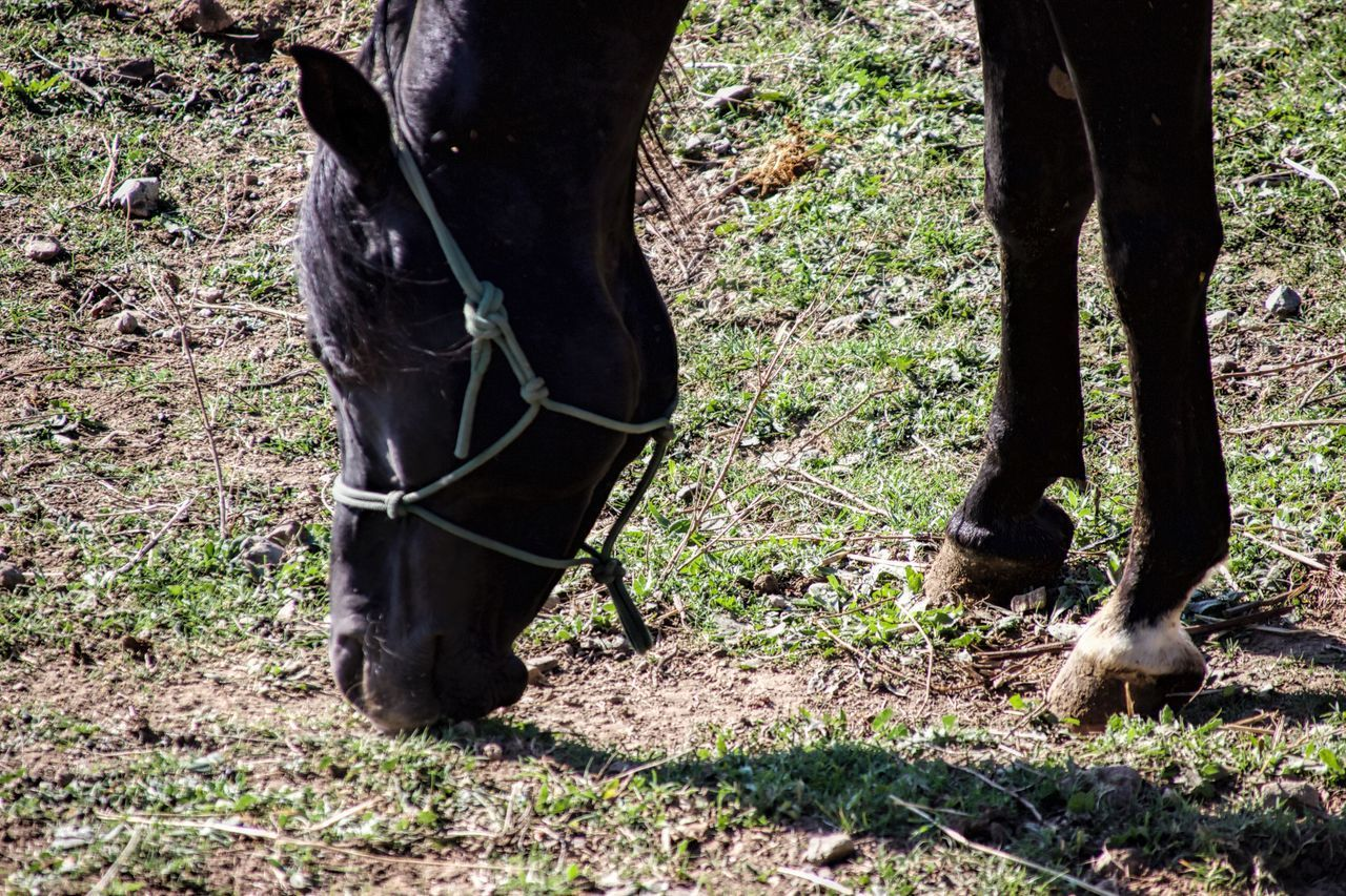 Khalil Animal Leg Animal Themes Arabian Stallion Close-up Day Domestic Animals Field Grass Grazing Horse Livestock Low Section Mammal Nature No People One Animal Outdoors Standing