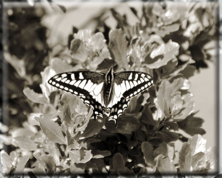 Tiger Swallowtail Butterfly @ San Leandro Shoreline Trail 2 Papilio Glaucus Papilioninae Female Butterfly Blue Spots Hindwings Yellow & Black Stripes Vintage Photo Nature Nature_collection