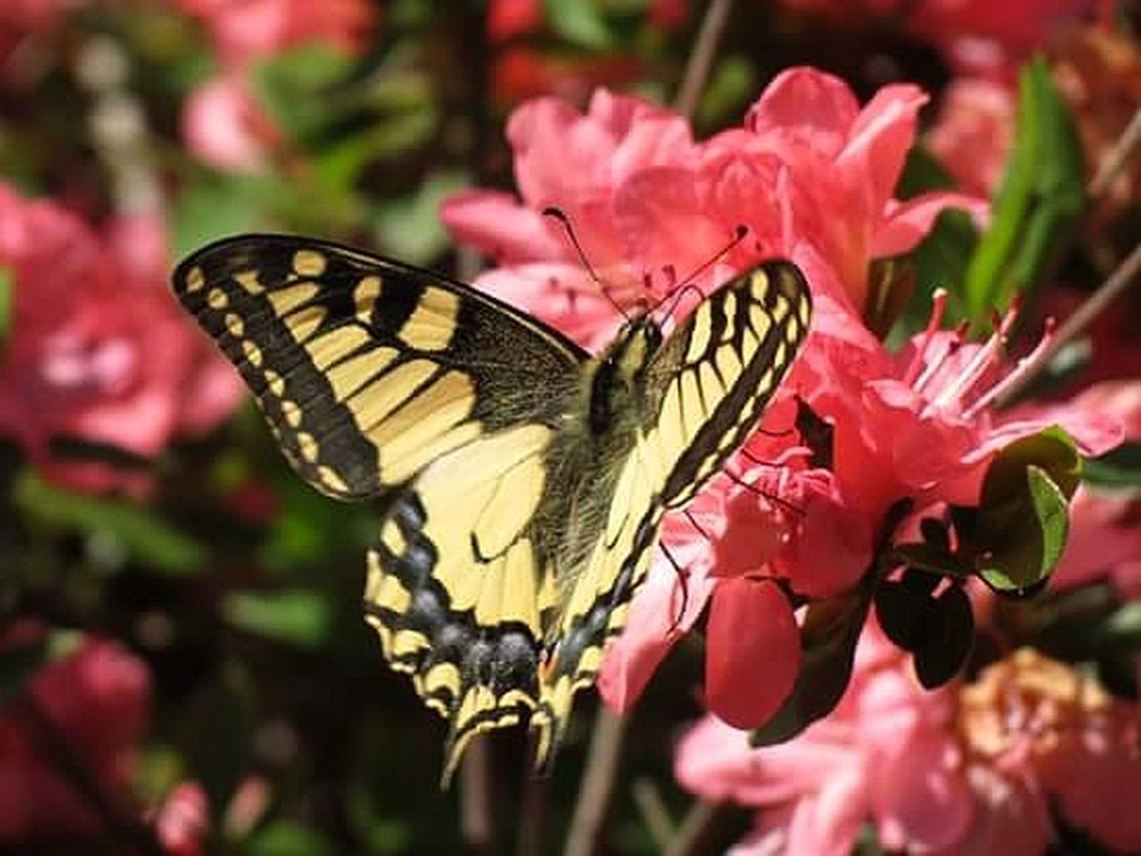 insect, butterfly - insect, animal wing, animals in the wild, animal wildlife, nature, one animal, animal themes, no people, full length, flower, plant, butterfly, perching, freshness, outdoors, pink color, spread wings, pollination, close-up, beauty in nature, fragility, day
