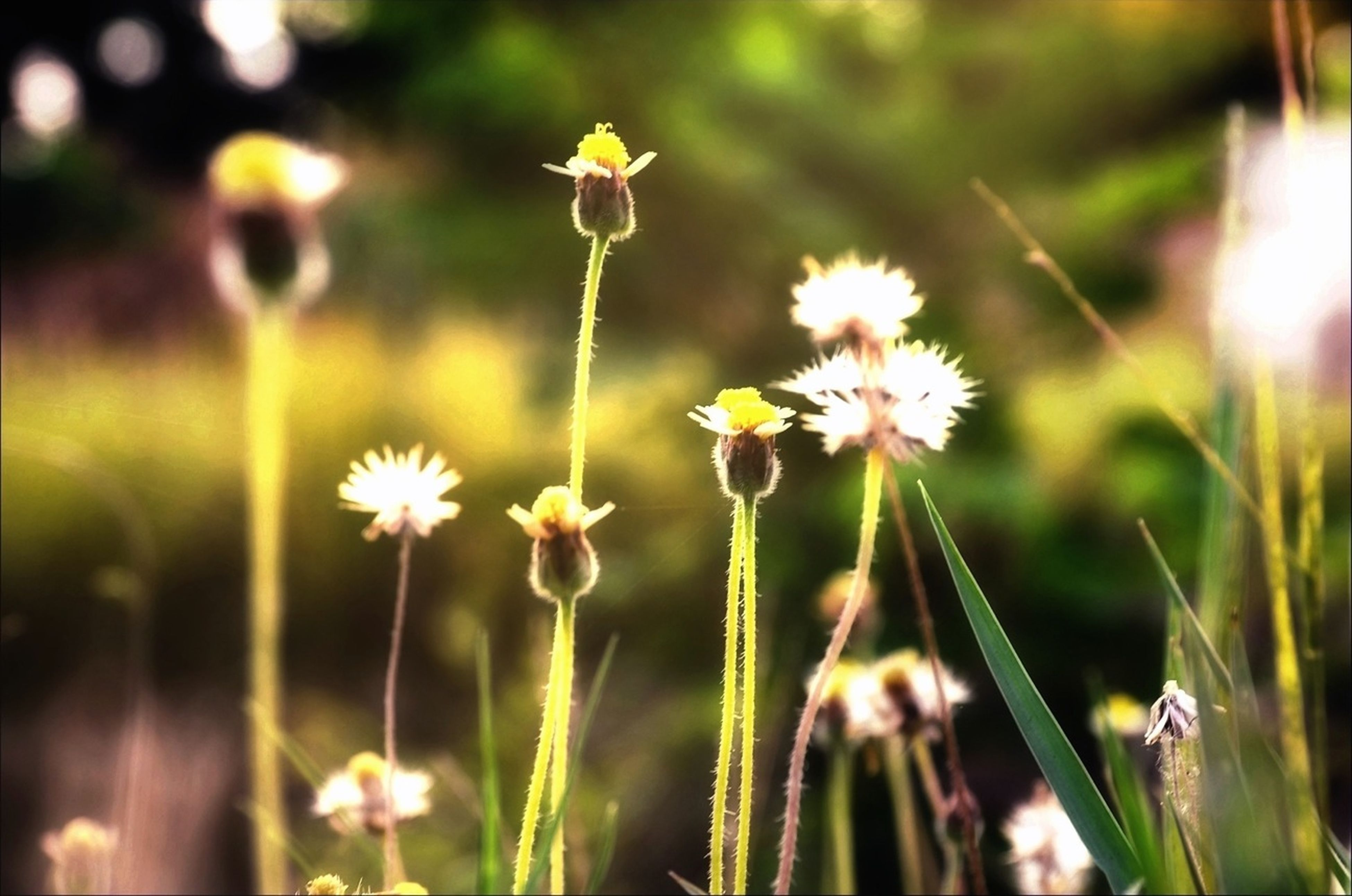 flower, fragility, freshness, growth, petal, focus on foreground, beauty in nature, flower head, plant, stem, nature, close-up, blooming, field, selective focus, wildflower, in bloom, botany, outdoors, white color
