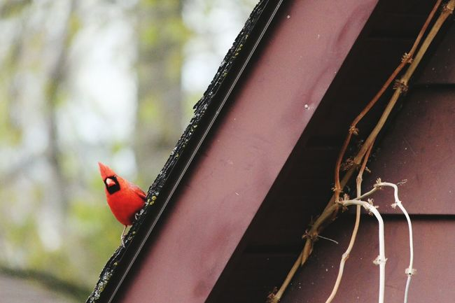Cardinal Bird Hanging Out Peeking