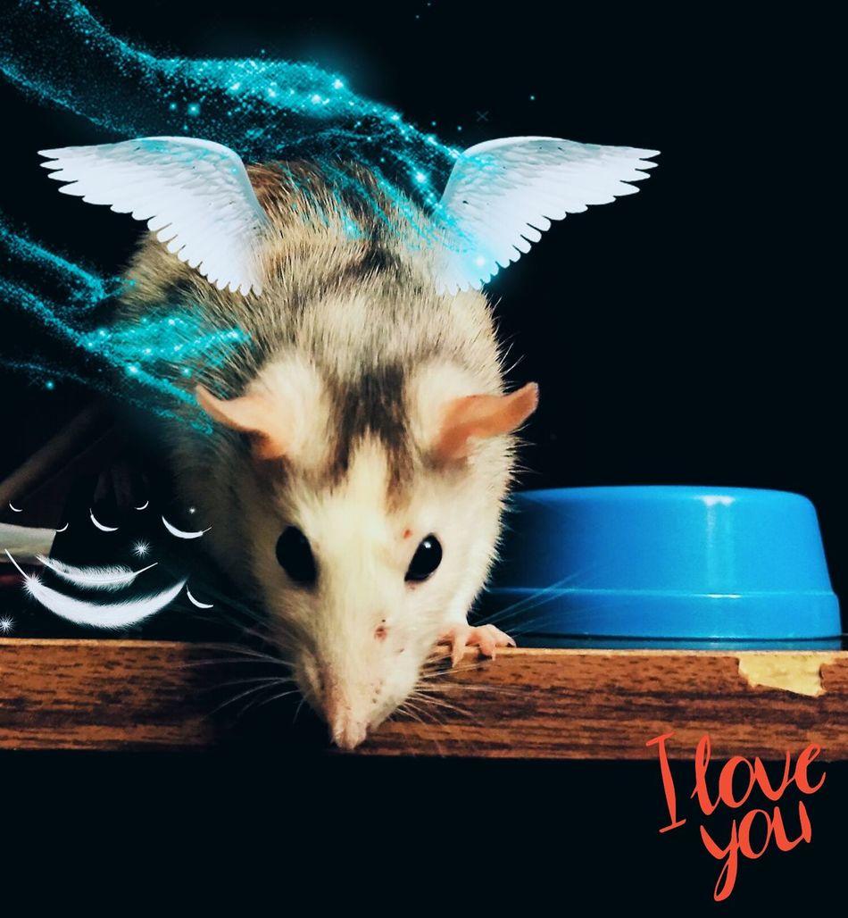 R.I.P. Taifa Loverat Animal One Animal Pets Rat 🐀 Rat