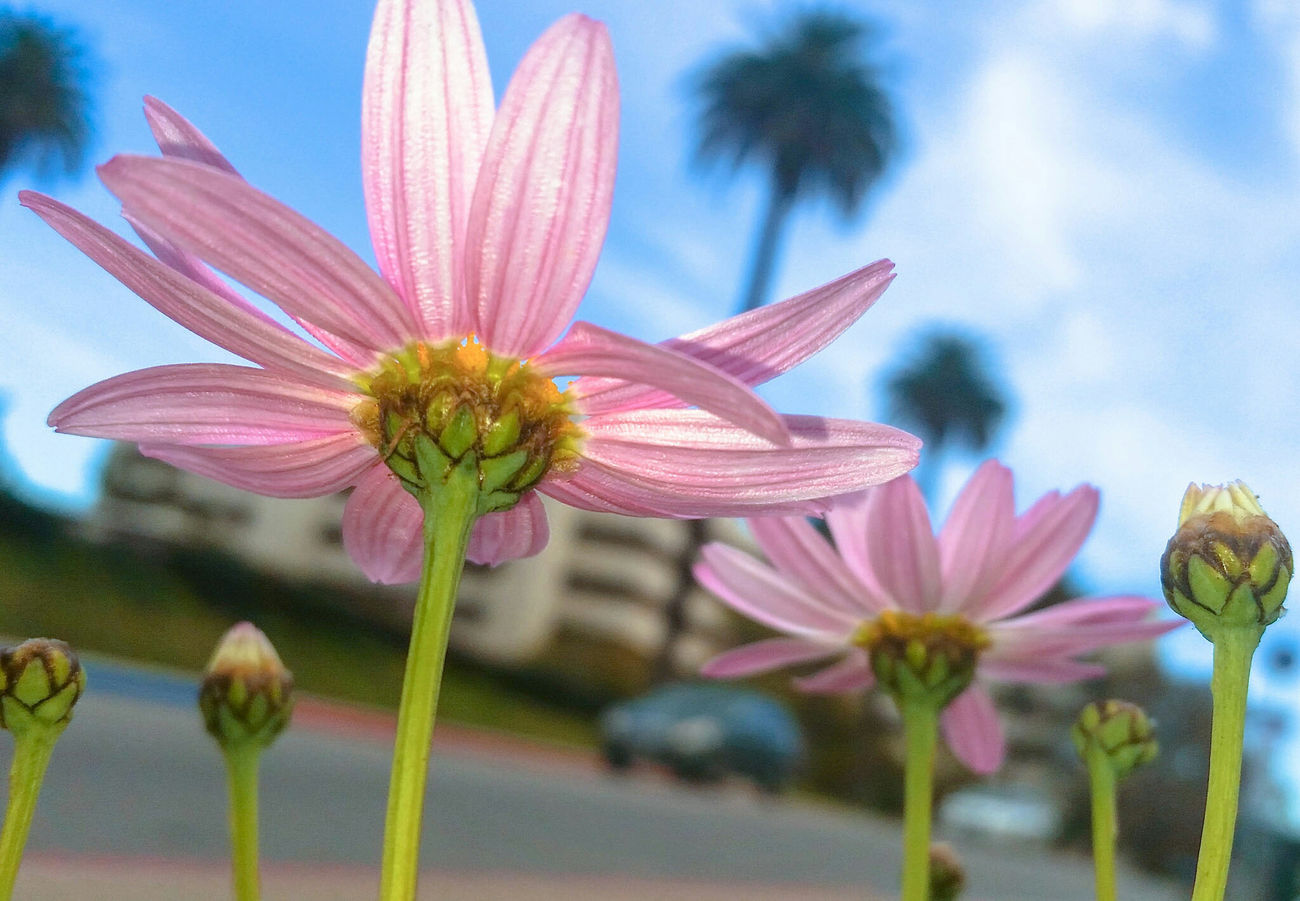 A pink daisy at the West LA VA Hospital flower garden. You can see the hospital in the background. West LA VA Hospital Pink Flower Pink Pink Daisy Flowers Veterans Hospital Flowers, Nature And Beauty Flower Photography Flowers_collection Flowerlovers West Los Angeles VA Medical Center
