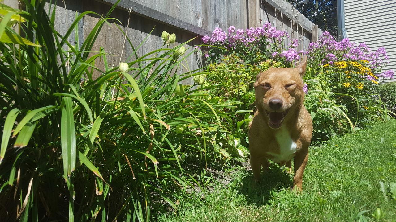 Backyard Animal Themes Dog Dog In Backyard Funny Dog Face Grass Nature One Animal Outdoors Pets