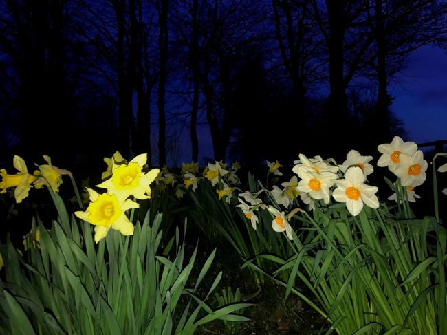 Eerie Daffodils Spring Night Sunset Flash Low Angle View No People Nature Plant Outdoors Yellow Beauty In Nature Fragility Daffodil Earth