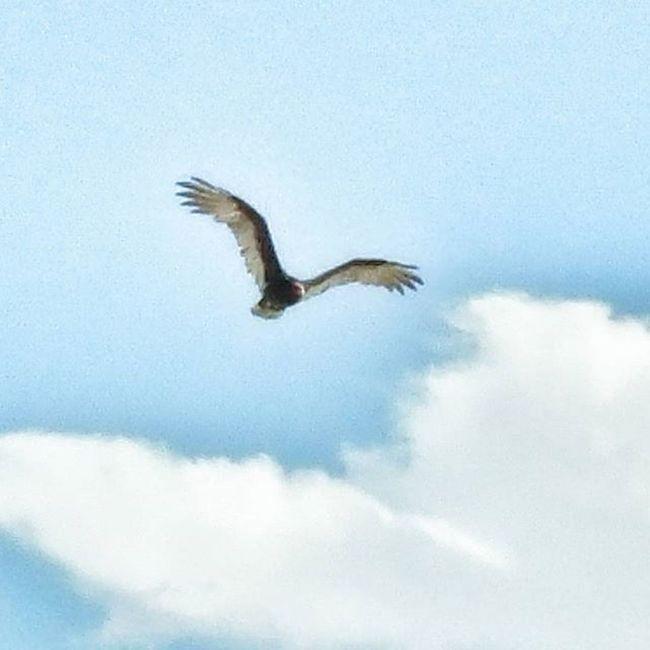 Fly Eagle Bluesky Wings Spreadwings Spreadeagle Spreadwingsandfly Bird Flyingbird Highinsky Hope Inspiration Animal Rare Raremoment Flyingeagle