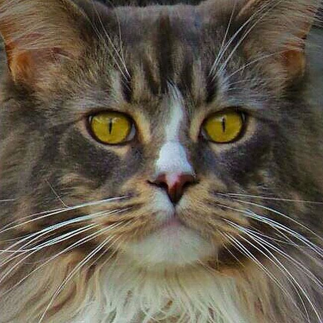 Good evening Sunday! Mainecoon_id Instacat Mainecoons Bigcat photooftheday catlover big lovecats petstagram great_captures_cats mainecoonstagram