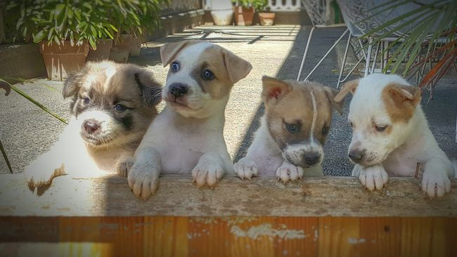 Puppies Dogs Pets Sunny Day Baby Dogs Four Puppies On Hind Legs Mutts Mongrels Aspin Askal