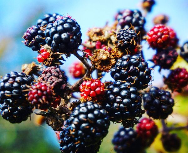Blackberries Food Food And Drink Fruit Freshness Berry Blackberry Ripe Healthy Eating Blackberry - Fruit Close-up Berry Fruit Healthy Lifestyle Red Blueberry Juicy Black Color Growth Selective Focus Tree Abundance Lancing  Nature Nature Photography Close Up