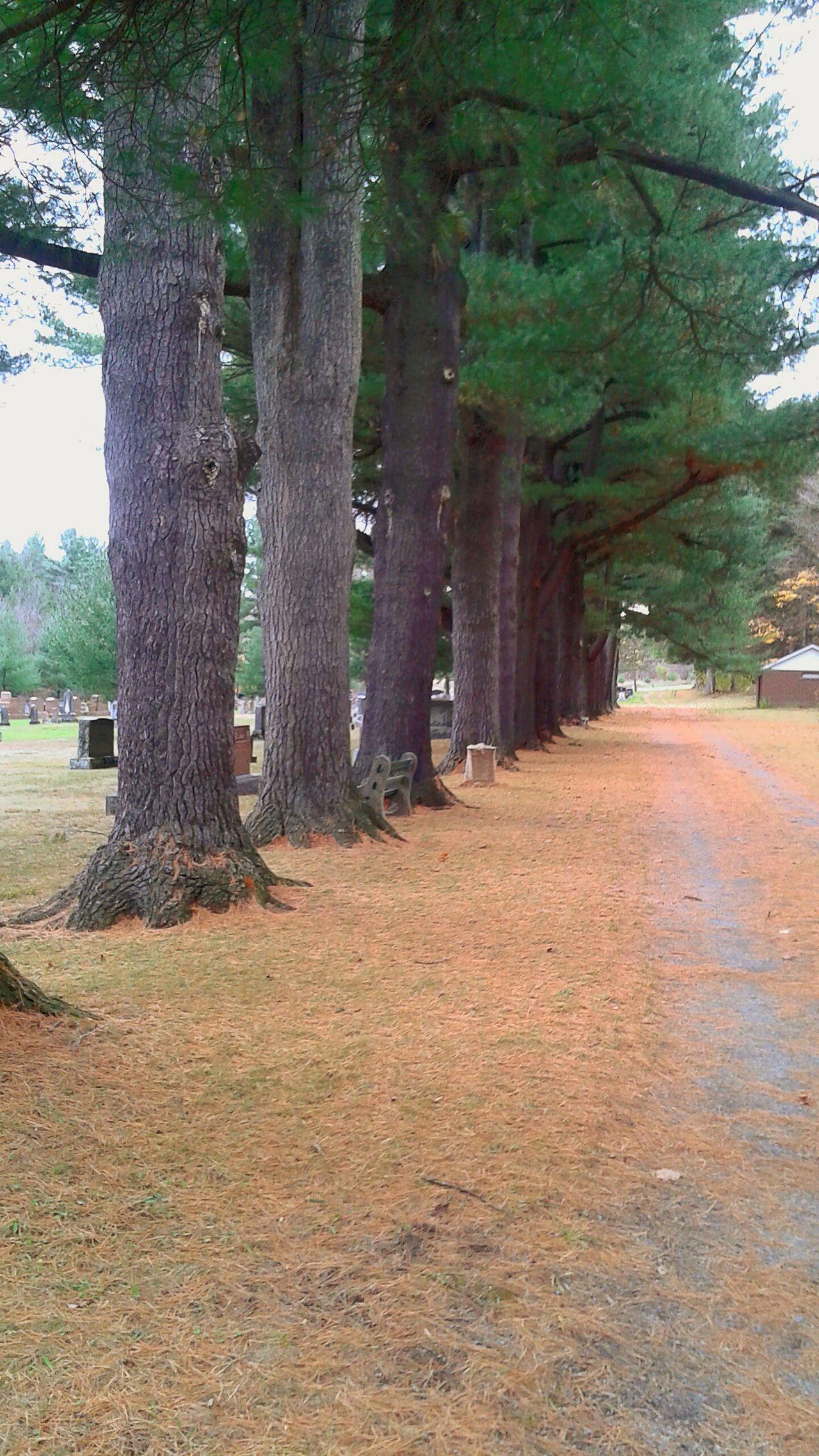 Cimetary Cimetiere Tree Pine Tree Pin Whitepine Pinblanc Pinwood Granby