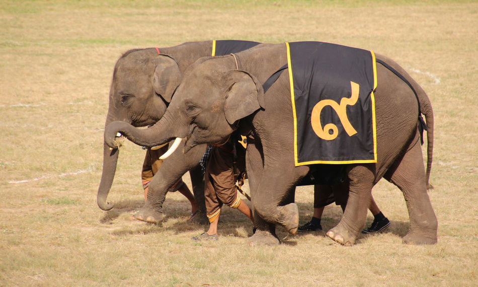 Acting Animal Elephant Glorify! Mammal Outdoors Performace Praise Show