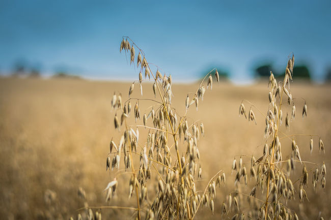 Agriculture Blue Cereal Plant Close-up Day Farm Food Food Staple Growth Healthy Lifestyle Horizontal Nature No People Outdoors Plant Rural Scene Rye - Grain Scenics Seed Sky Summer Wheat Wholegrain