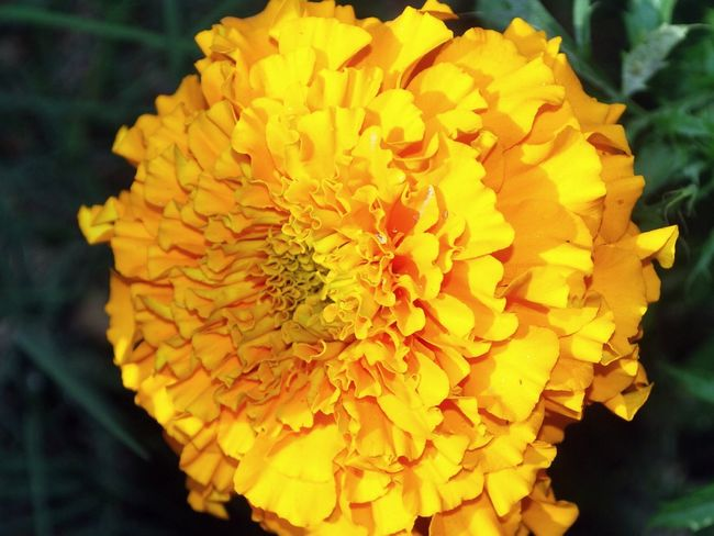 Beauty In Nature Blooming Close-up Freshness Hanging Out Nature <3  Outdoors Sunny Day☀ Taking Photos Yellow Flower - at Gurgaon India