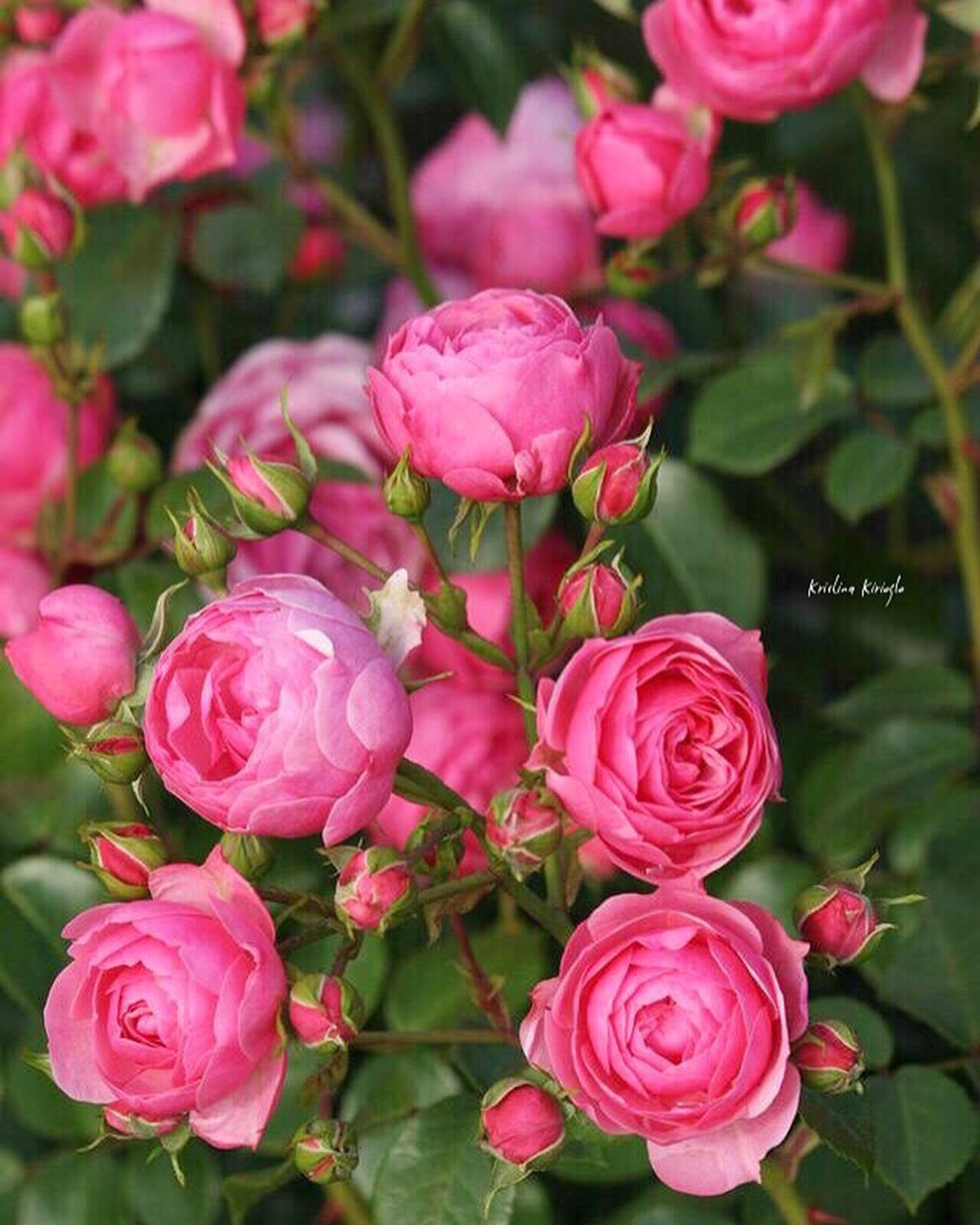 Помпонелла💐😻👏🙈 Flower Rose - Flower Pink Color Beauty In Nature Shabby Chic Provence Rococo