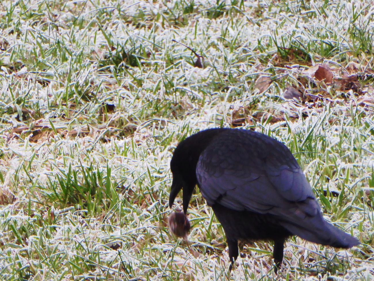 Crow Playing Animals In The Wild Animal Themes For My Friends 😍😘🎁 Frosty ⛄ Cold Outside ❄⛄  Nature Winter Wintertime ⛄ Beauty In My Every Day Life On My Way To Work Close-up Enjoying The View Animals In The Wild Animal Wildlife Crowlovers