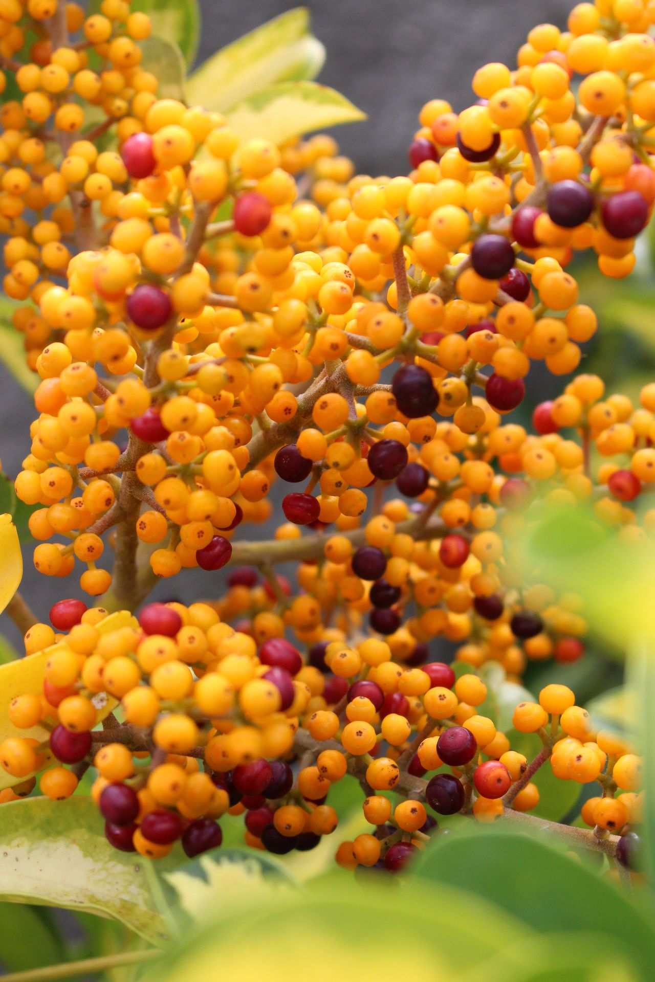 Yellow ish Growth Food And Drink Fruit Food No People Outdoors Nature Day Close-up Freshness Berries Berries Collection