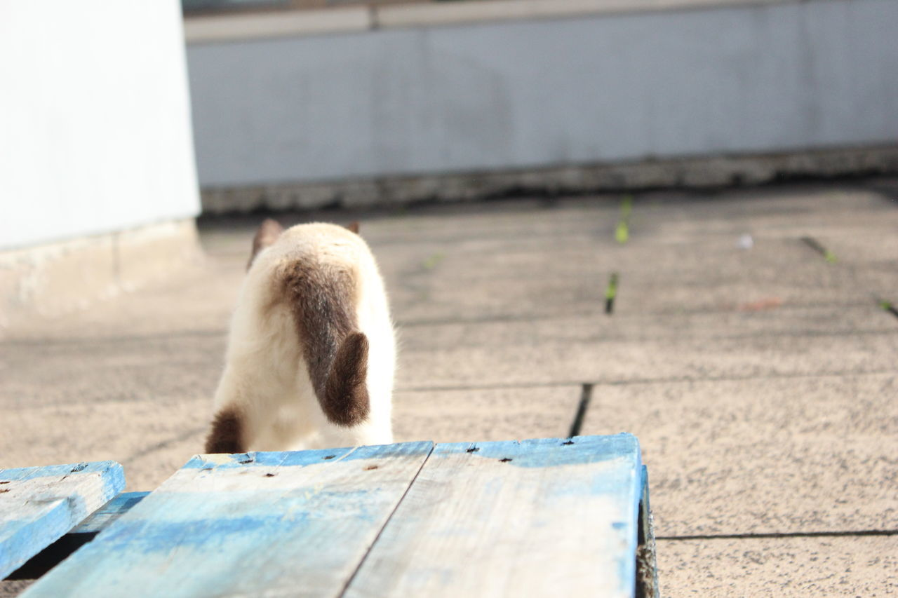 Away Back Blue Cat Cat Outdoors Cat Tail Cats Domestic Animal Domestic Cat Go Go Away Goodbye No People Nofilter Outside Pet Pets Siam Siamcat Siamese Siamese Cat Siamesecat Siamesecats Tail Terrace