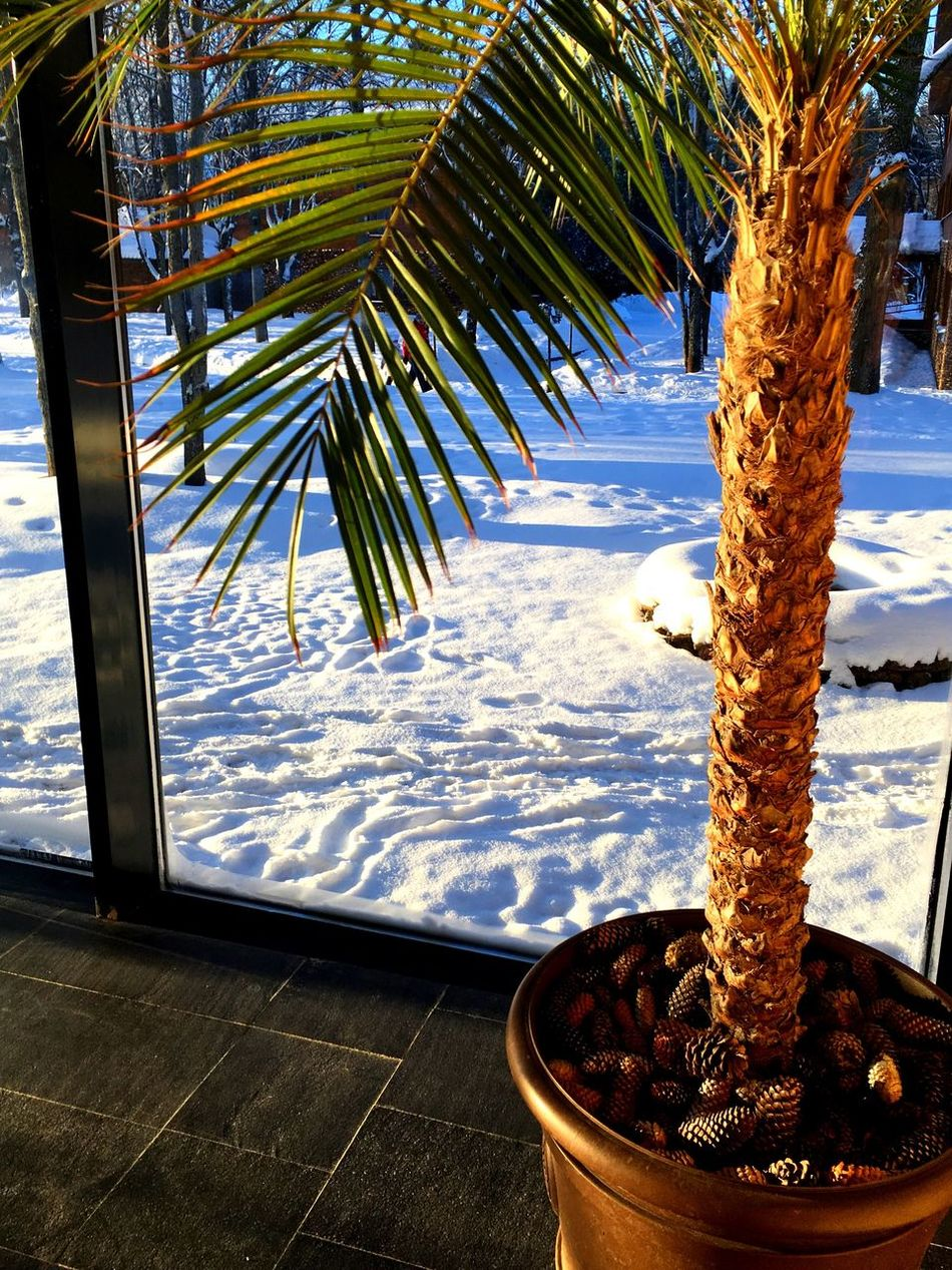 Russian Winter -30!!! Tropical Climate Palm Tree Swimming Pool Nature Tree No People Day Winter