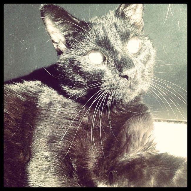 Catsofinstagram Lazycatdaze Bagheerah Babykiikatz possessedcats blackcats familiar babyboy