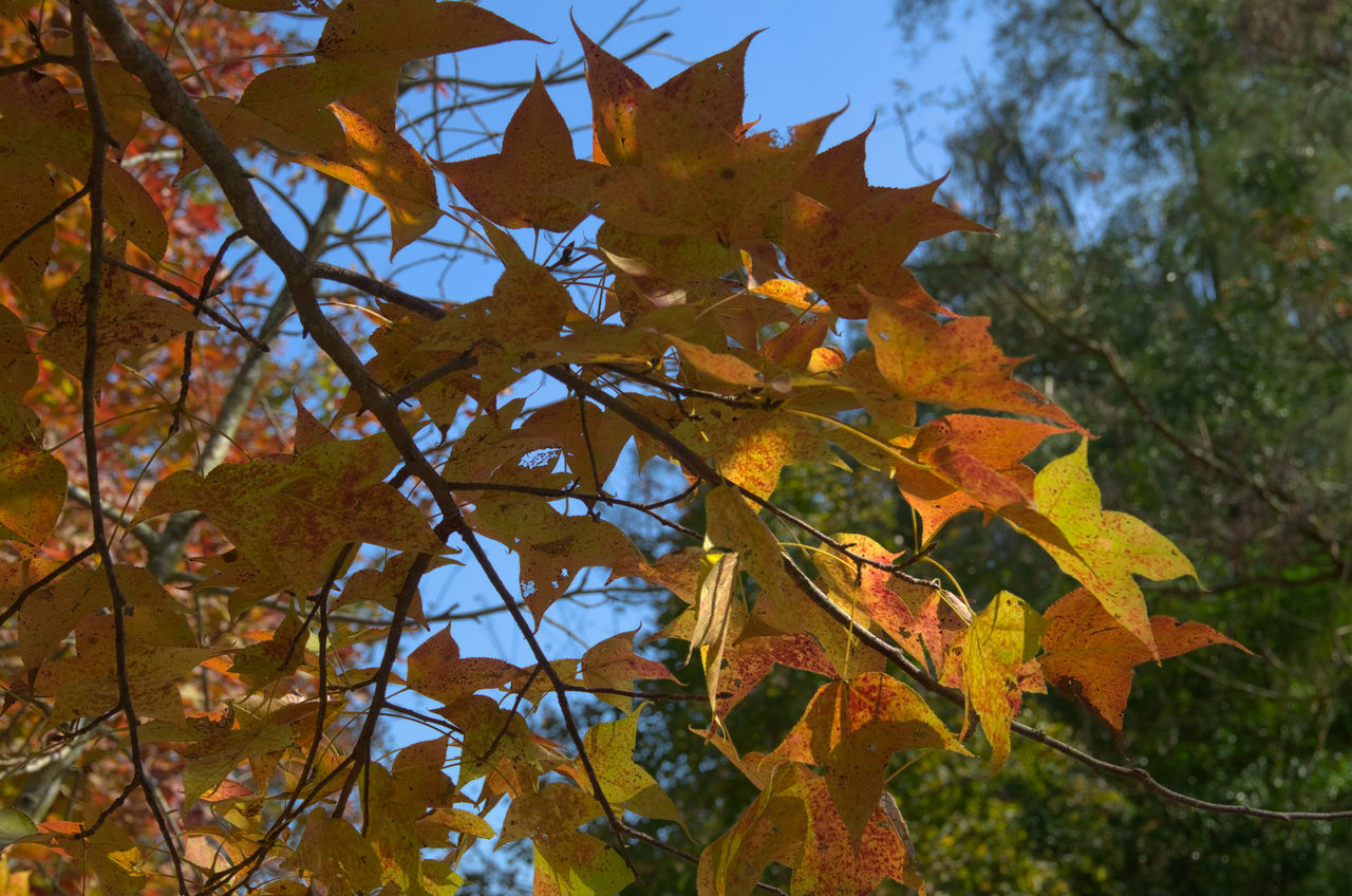 Autumn Change DSLR Hong Kong Leaf Low Angle View Nature No People Outdoors Pentax Sweet Gum Tree Tree