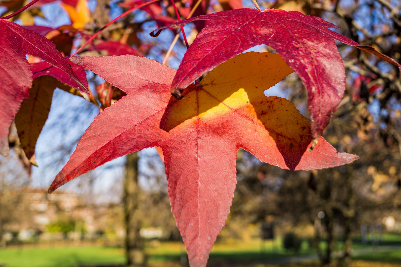Autumn Colors Beauty In Nature Close-up Foliage, Vegetation, Plants, Green, Leaves, Leafage, Undergrowth, Underbrush, Plant Life, Flora Leaf Vein Leafs Maple Leaf Multi Colored Nature Photography Red