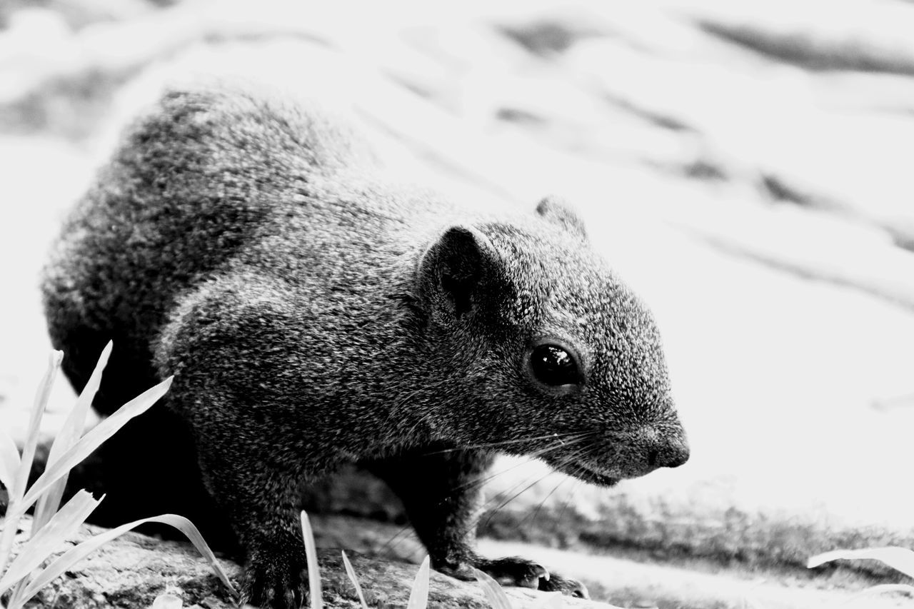 One Animal Animal Wildlife Animals In The Wild Animal Outdoors Animal Themes Nature Close-up No People Mammal Black & White Blackandwhite Black And White Squirrel