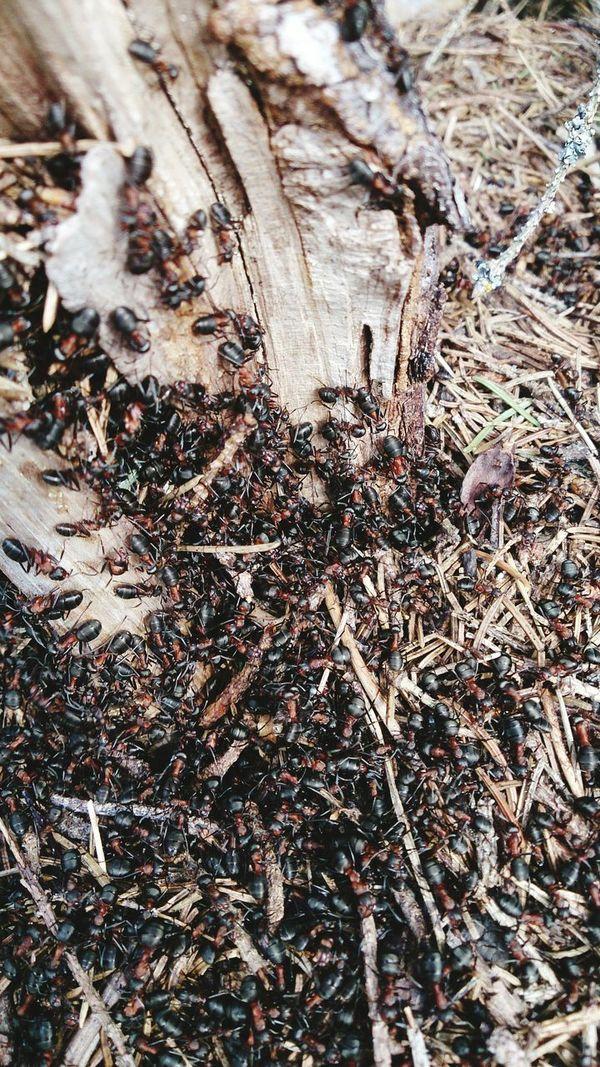 Ants Antslife Wildlife & Nature Mobilephotography Workingants Anthill