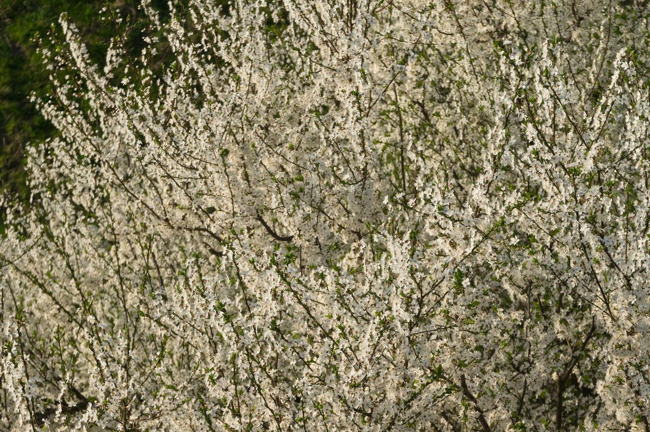 White Blossom Backgrounds Bloom Blossom Day Detail Flowers Freshness Leaf Nature Outdoors Spring Springtime Tree White