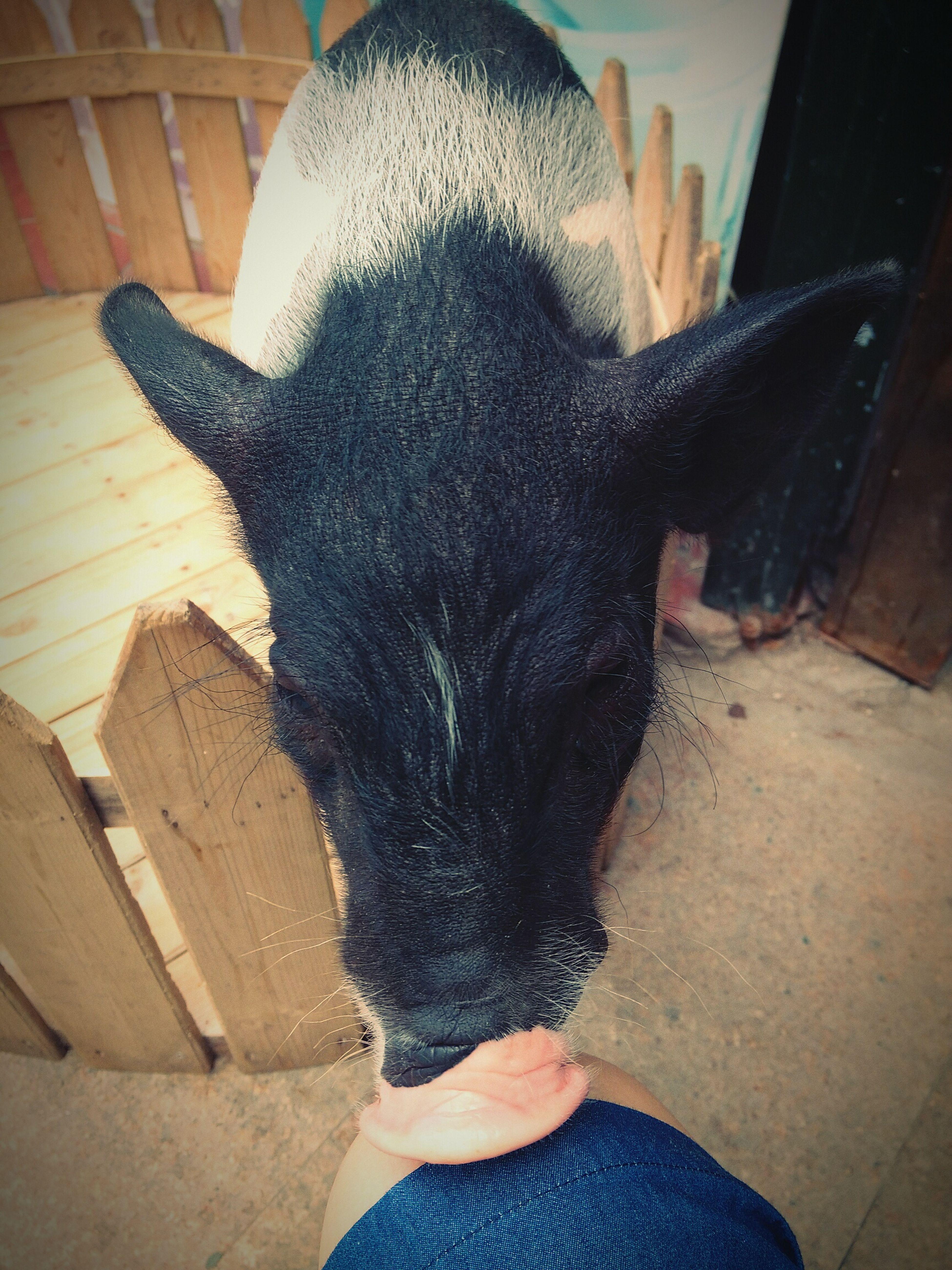 Pig Cute♡ Beautiful Life Animal 2015  Xiamen Laoyi
