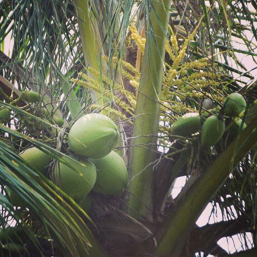 Young coconuts. KELAPAMUDA Dowegan Coconuts Do it gun ?