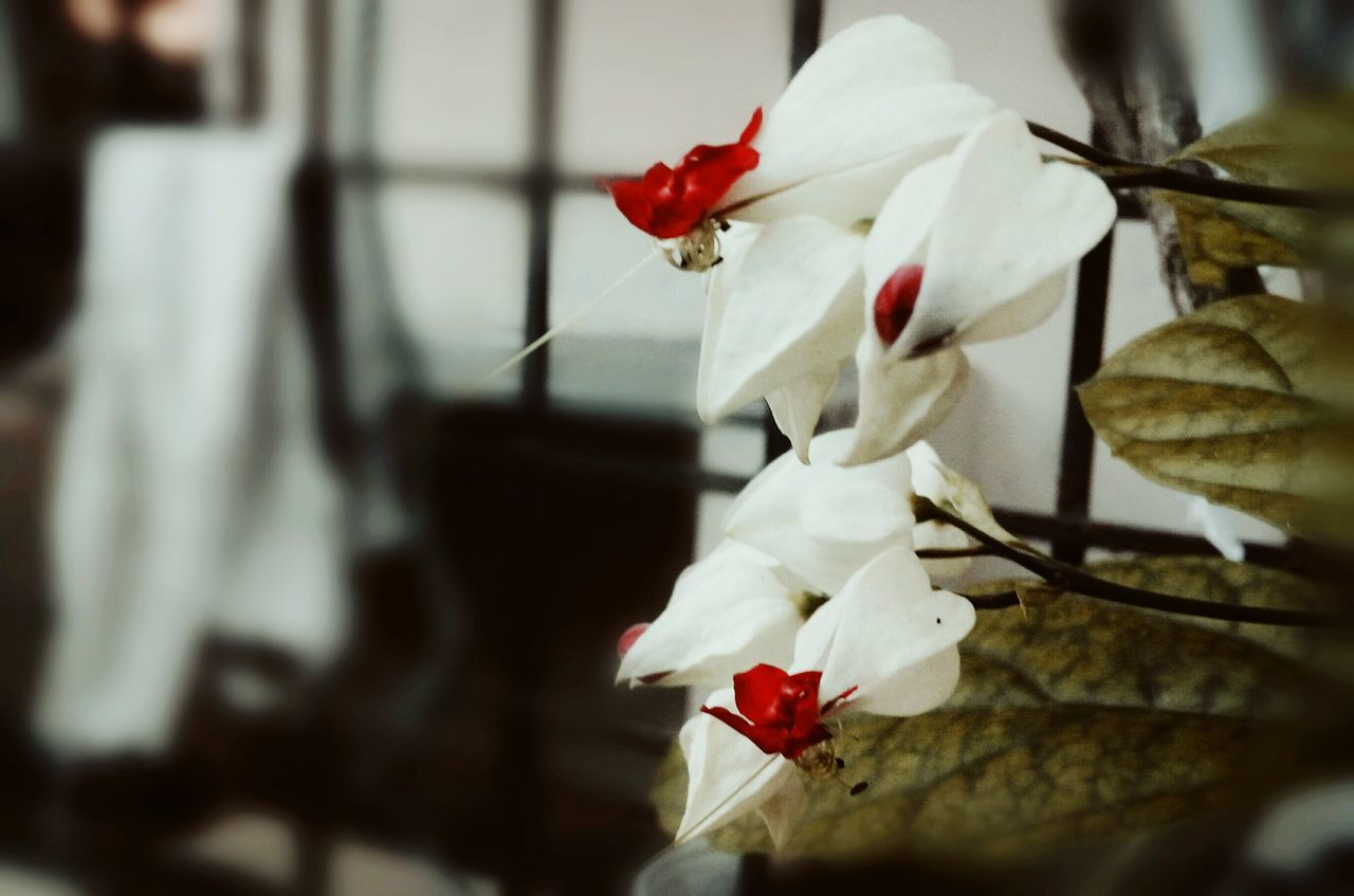 Flower Nature Freshness Beauty In Nature Bleeding Heart  Bleeding Heart Flowers Pain Of Flower