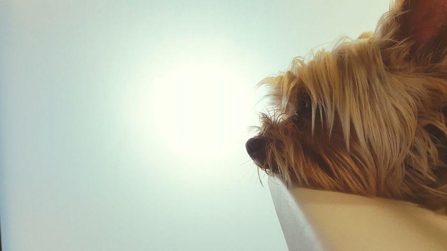 Headshot Close-up Ocha Yorkshire Terrier Cute Emotion Light Mood