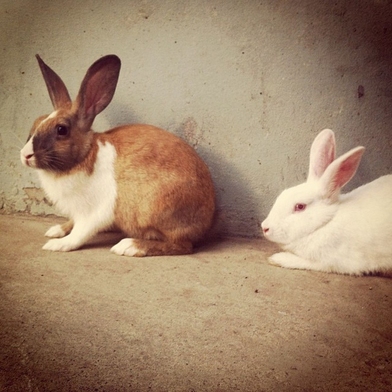 bugs N bunny ! Rabbit Pet Home Yard Play Chaktai Chittagong IPhone Insta Instapics Instagram