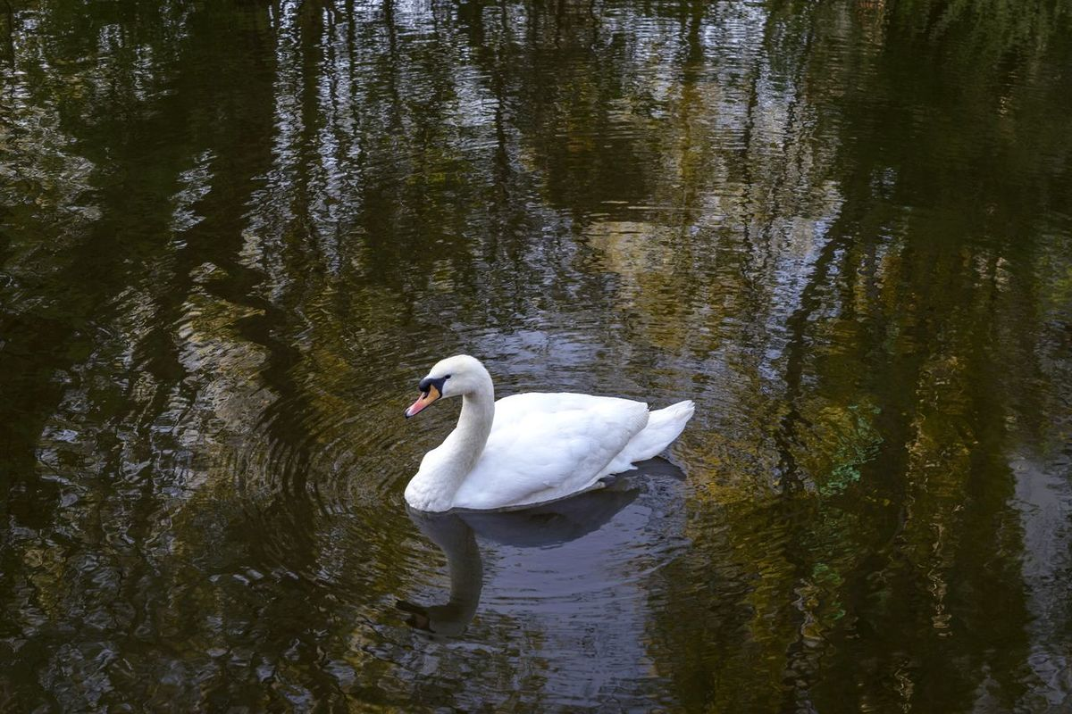 A hamburger swan on the Isebekkanal Animal Themes Animal Wildlife Animals In The Wild Beauty In Nature Bird Day Hamburg Hamburger Ansichten Hamburgmeineperle Isebek Lake Morning Morning Light Nature No People One Animal Outdoors Reflection Swan Swans Swimming Water Water Bird White Color