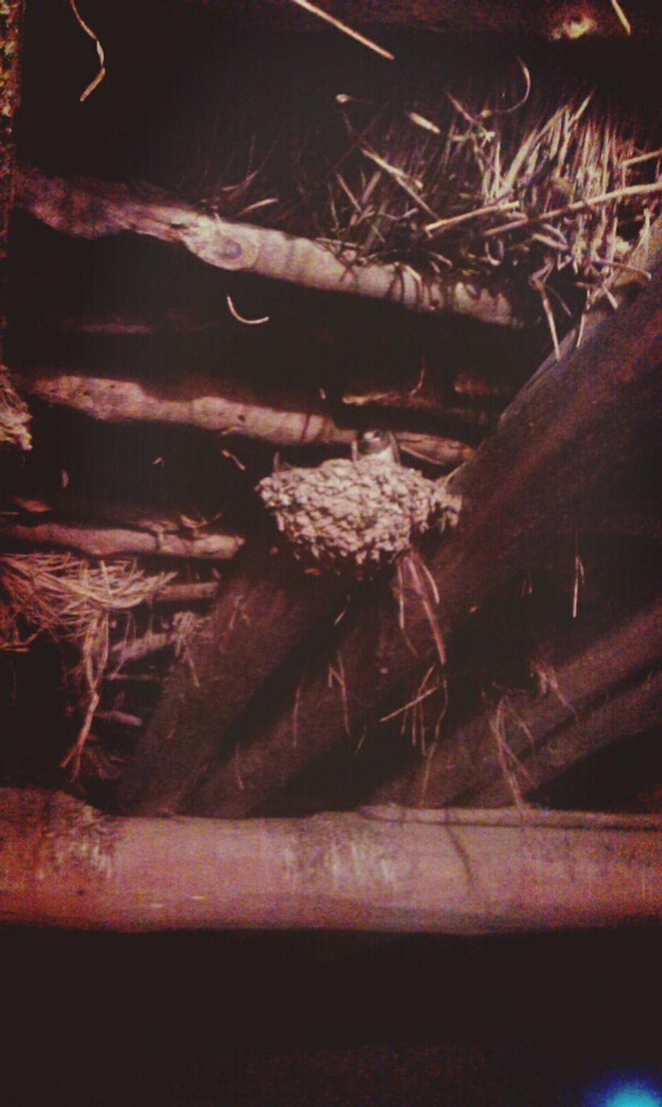 Ahırın tavanında bulduğum kırlangıç yuvası 'Naber küçük dostum 'cik'cik'cikk...👻👽👅 Minikkırlangıç Birds Animal Love Köydenmanzaralar Life Jiyan Street Photography Relaxing Photography Mobile Photography