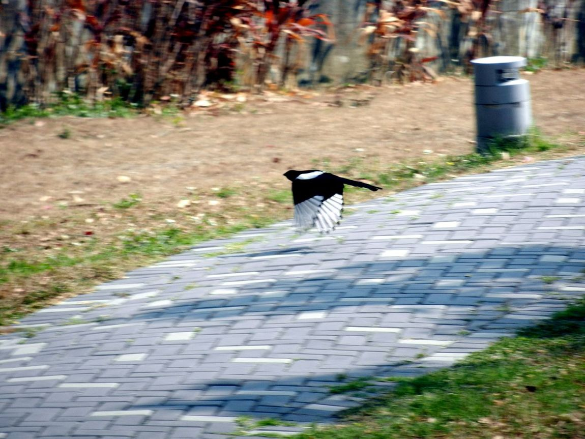 Gotcha! Magpie 喜鵲 Blackandwhite Picapica Fly Bird Birds 鳥 飛翔