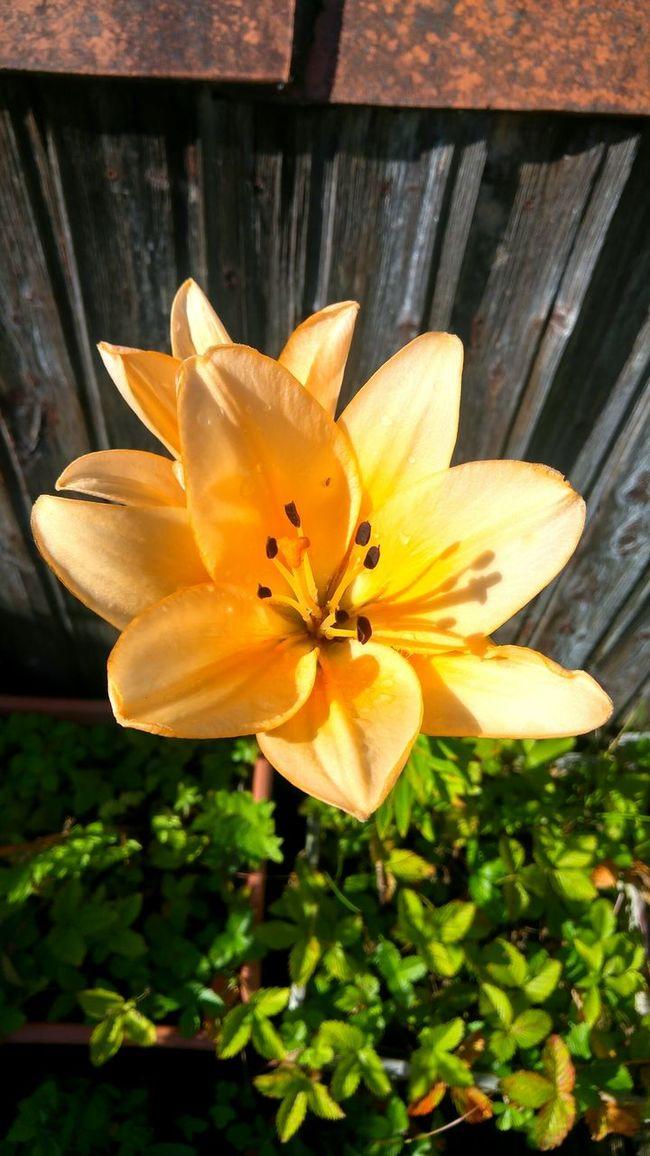 Lilie Lilies Lilium Lily Lily Flower Orange Color Orange Flower On My Balcony