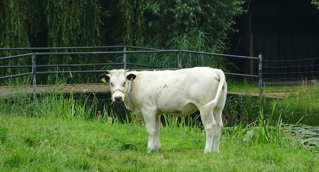 White Cow Enjoying The Sun Nature_collection EyeEm Nature Lover