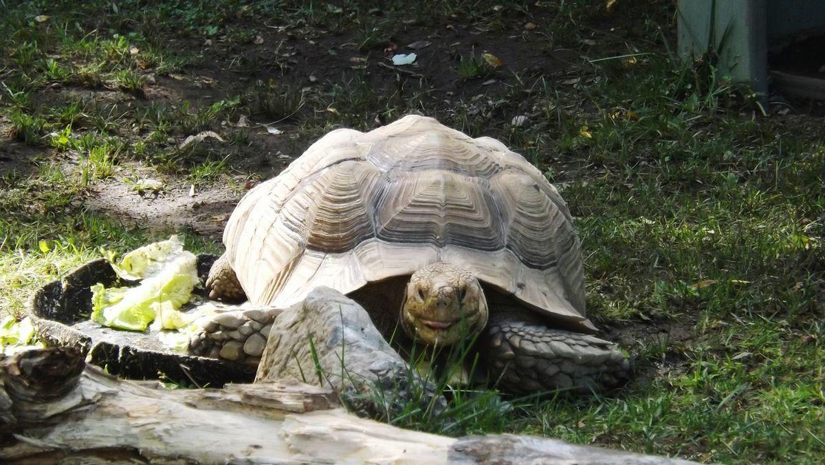 ZOO-PHOTO Zoo Animals  Tortoise Tortoiselife Tortoises Tortoise! Tortoisepose Reptilecollection Reptilelife Reptile