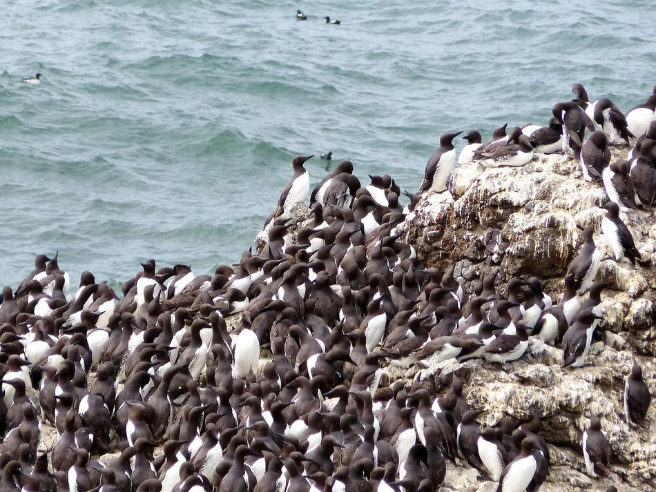 Common Murre Nests Common Murre Colour Of Life Colour Palette Nature_collection Hello World Nature Birds Birds_collection Nature Is Art Black And White Yaquina Head Oregon Coast Oregonlife Birds Wildlife Color Palette The Great Outdoors - 2017 EyeEm Awards Perspectives On Nature