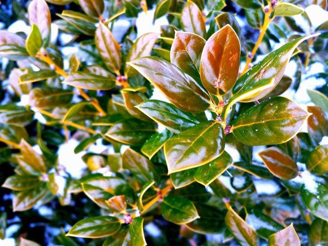 Plants And Flowers Bushes Nature Snow Smithsburg Maryland Maryland