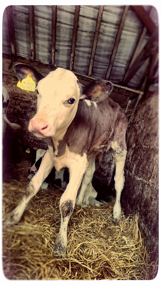 Calf Baby Cow Dairyfarming Stable Young Cow Tagged Cow Chesterton Farm Cirencester